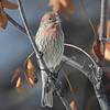 House Finch (Carpodacus mexicanus) Male