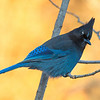 Stellar's Jay, (Cyanocitta stelleri) Early Morning Light