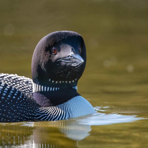 Common Loon (Gaviar immer)