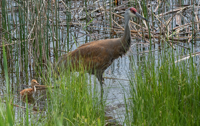 Sandhill Crane (Grus canadensis)  with chick
