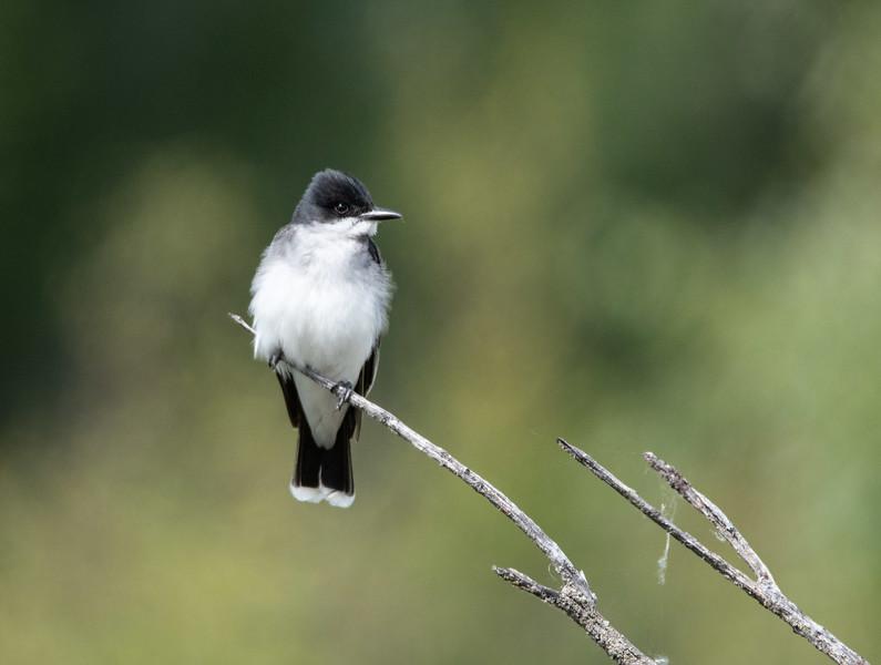Eastern Kingbird (Tyrannua tyrannus)