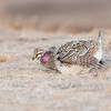 Sharp-tail Grouse (Tympanuchus phasianellus) Mating Display