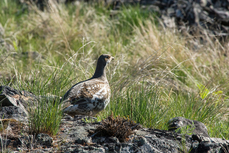 Blue Grouse (Dendragapus obscurus)