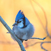 Bluejay, (Cyanocitta cristata) Early Morning Light