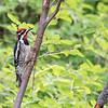 Red-nape Sapsucker (Sphyrapicus nuchalis)