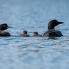 Common Loon (Gaviar immer) Mating Pair with Chicks
