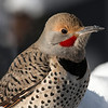 Northern Flicker (Colaptes auratus) Male
