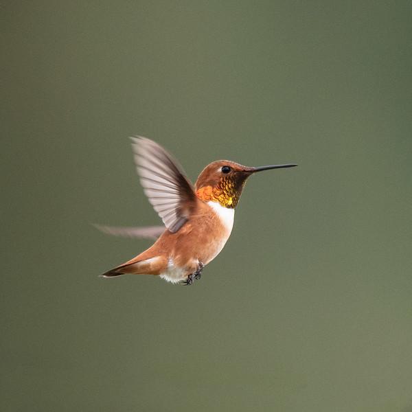 Rufous Hummingbird (Selasphorus rufus)