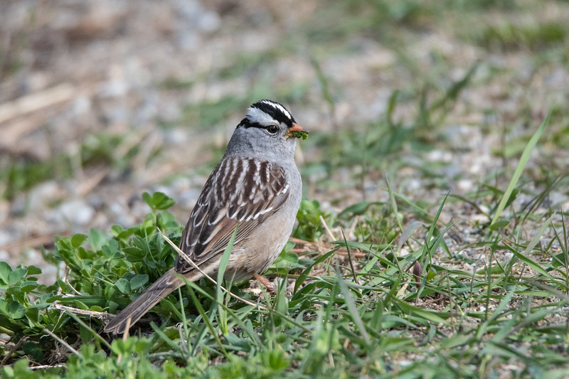 White-crowned Sparrow (Zonotrichia leugophrys)