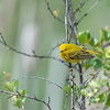 Yellow Warbler (Dendronica petechia)
