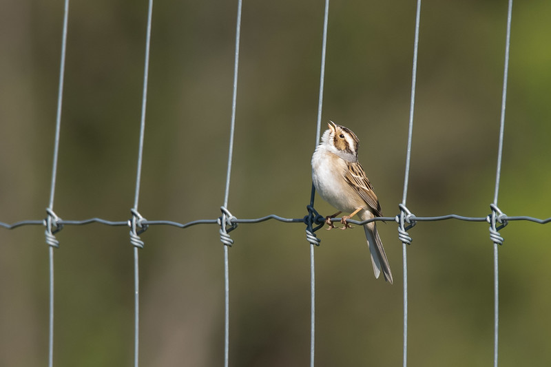 Clay-coloured Sparrow (Spizella pallida)