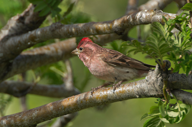 Cassins Finch (Carpodacus cassinii)