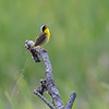 Common Yellowthroat (Geothlypis trachas)