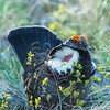 Blue Grouse (Dendragapus obscurus) Mating
