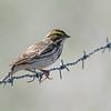 Savannah Sparrow ( Passerculus sandwichensis)
