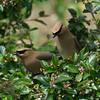 Cedar Waxwings (Bombycilla cedronum)
