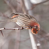 House Finch antics (Carpodacus mexicanus)
