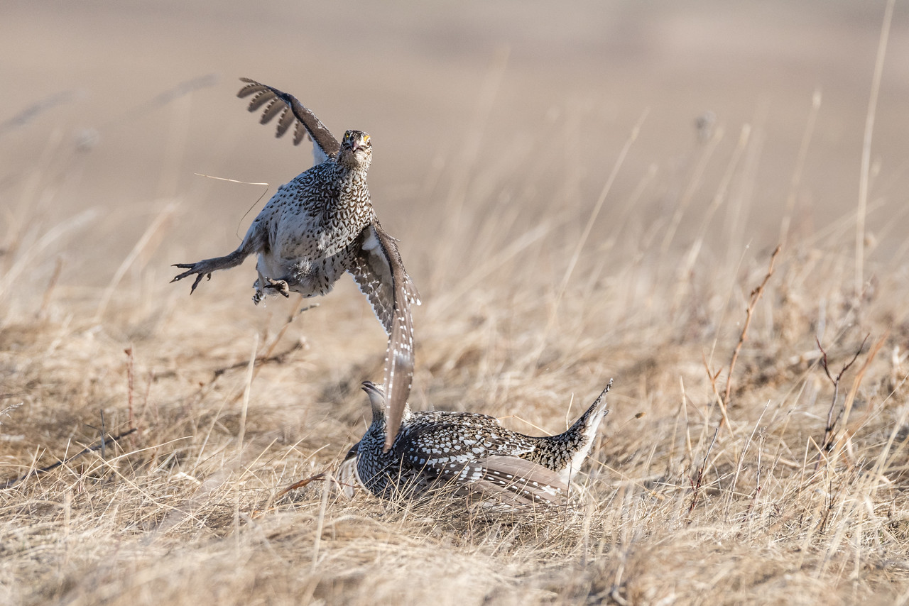 Sharp-tail Grouse (Tympanuchus phasianellus) Mating Combat