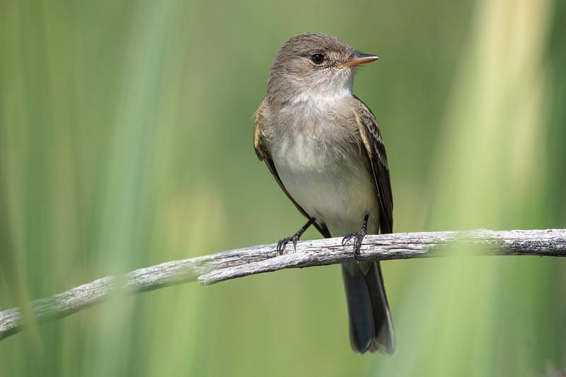 Willow Flycatcher (Empidomax traillii)