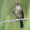 Willow Flycatcher (Empidomax traillii)
