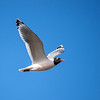 Franklin's Gull (Larus pipixcan)