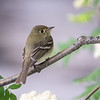 Pacific Slope Flycatcher (Empidonax difficilis)
