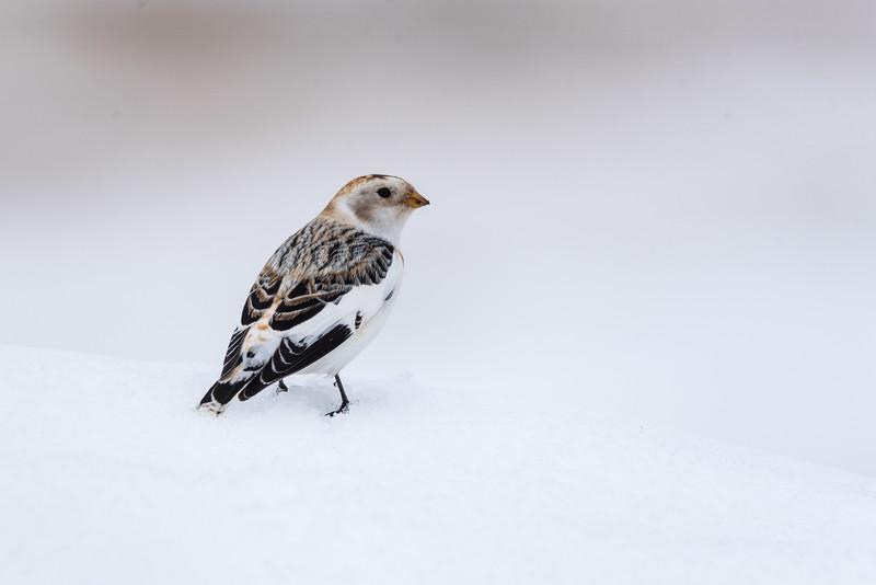 Snow Bunting (Plectrohenax nivalis)