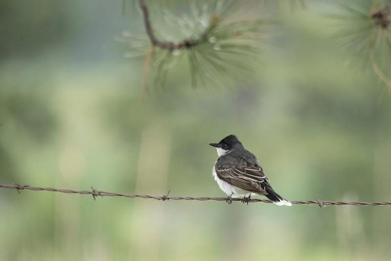 Eastern Kingbird (Tryannus tyrannus)