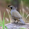 California Quail (Callipepla califorica)