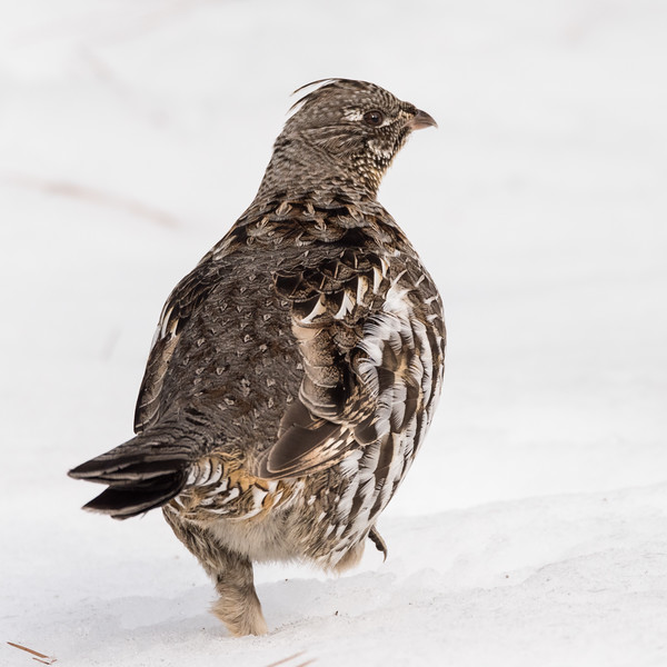Ruffed Grouse (Bonasa umbelus)