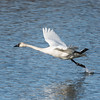 Tundra Swan (Cygnus columbianus) Moment of take off.