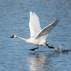 Tundra Swan (Cygnus columbianus) running on water.