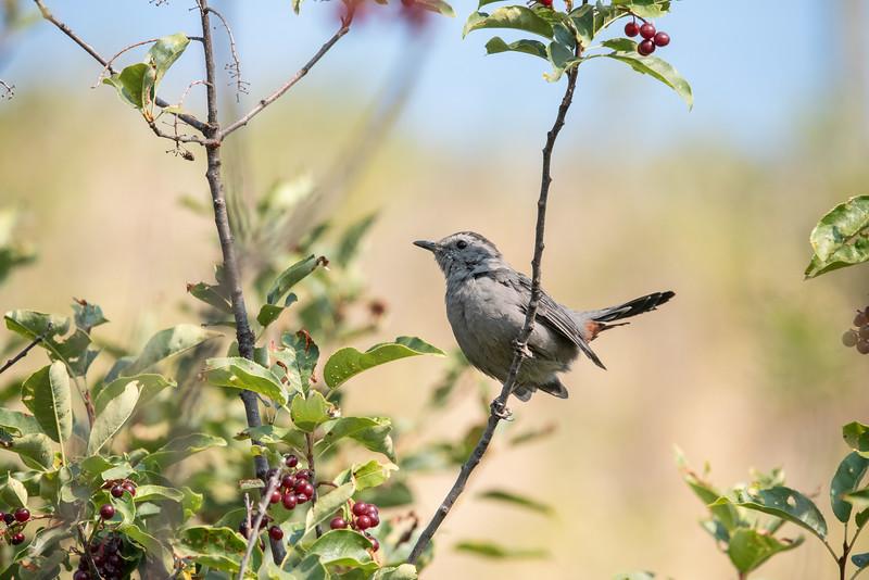 Gray Catbird (Dumetella carolinensis)