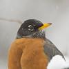 American Robin (Turus migratorius)