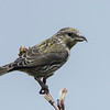 Juvenille Red Crossbill (Loxia curvirostra)