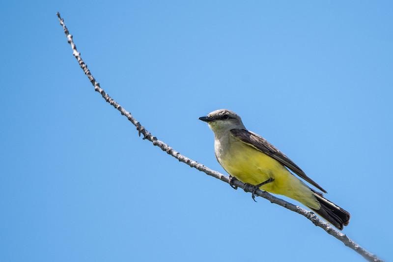 Western Kingbird (Tyrannus verticalus)