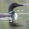 Common Loon (Gaviar immer)
