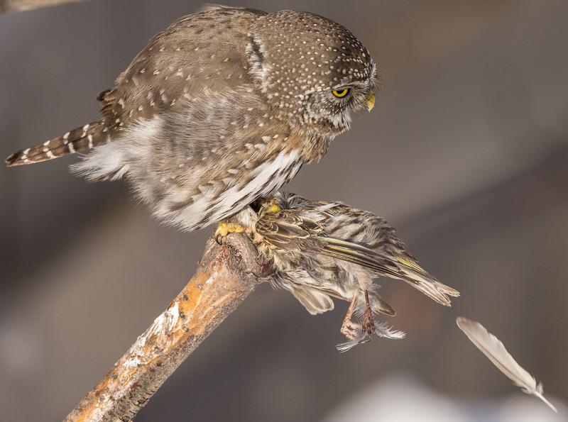 Northern Pygmy Owl (Glaucidium gnome) plucking a Pine Siskin