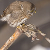Northern Pygmy Owl (Glaucidium gnome) plucking a Pine Siskin