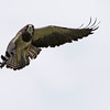 Swainsons Hawk (Buteo swainsoni) In Flight
