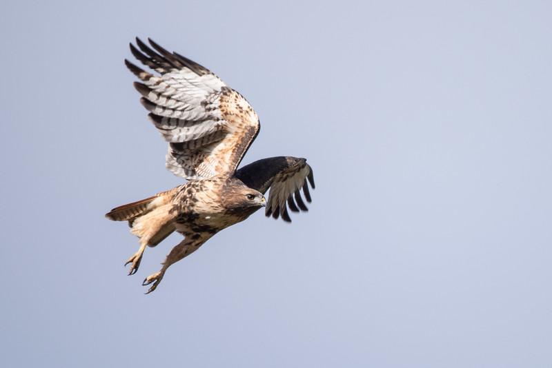 Swainsons Hawk (Buteo swainsoni)