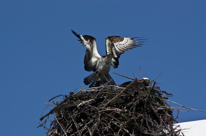 Osprey (Pandion haliaetus) Nest Building
