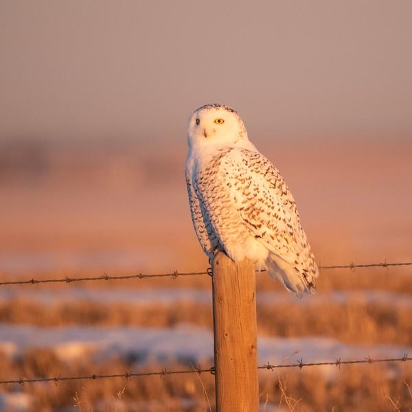 Female Snowy Owl (Nyctea scandiaca) in early morning light.
