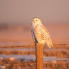 Female Snowy Owl (Nyctea scandiaca) in early morning light.