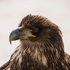 Immature Bald Eagle (Haliaeetus leucocephalus)