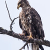 Immature Bald Eagle (Haliaeetus leucocephalus)