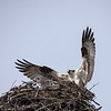 Ospreys (Pandion haliaetus) Mating