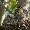Great Horned Owl (Bubo virginianus) Female and Chicks