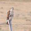 Ferruginous Hawk (Buteo regalia)