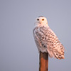 Female Snowy Owl (Nyctea scandiaca) in the last light of the day.